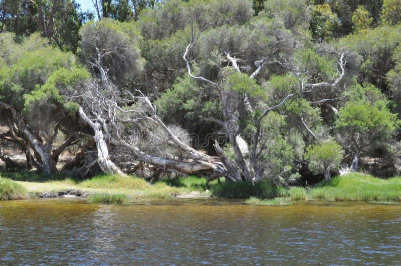 Paper bark tree western Australia. Paper bark tree on river bank western australia stock images