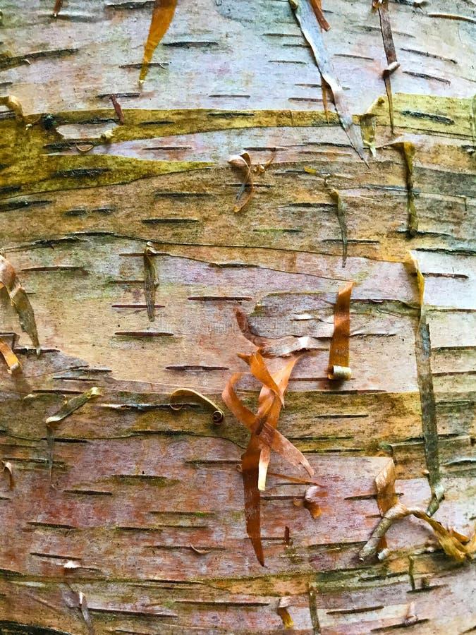 Paper Birch Bark stock photo