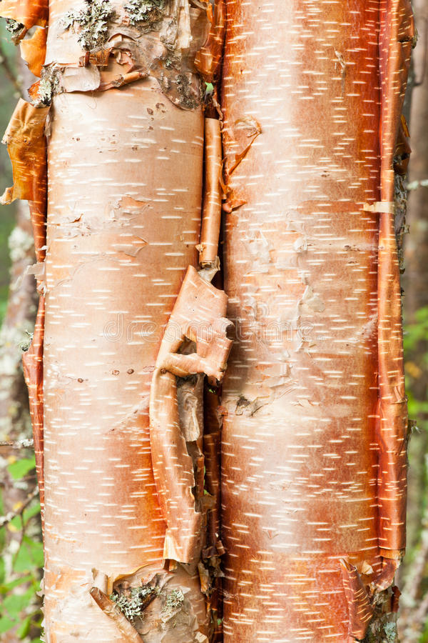 Paper Birch Betula Neoalaskana Bark Background Royalty ...