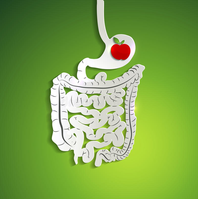 Paper digestive system and apple in stomach vector illustration