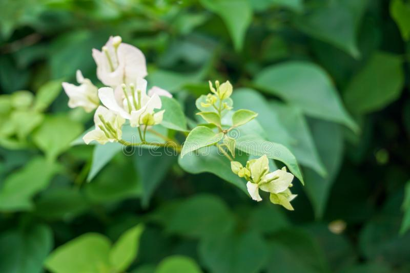 Paper flower or Bougainvillea flower of the white colour blooms in the garden, Blurred Concept, Soft blurry background stock image