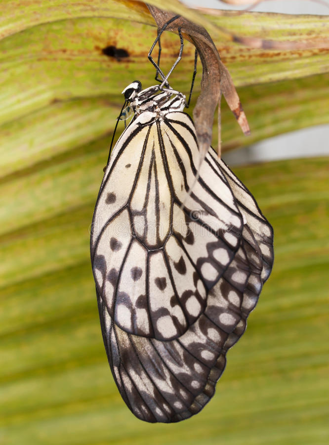 The paper Kite butterfly - Idea leuconoe. The paper Kite butterfly hatching from pupa - Idea leuconoe stock image