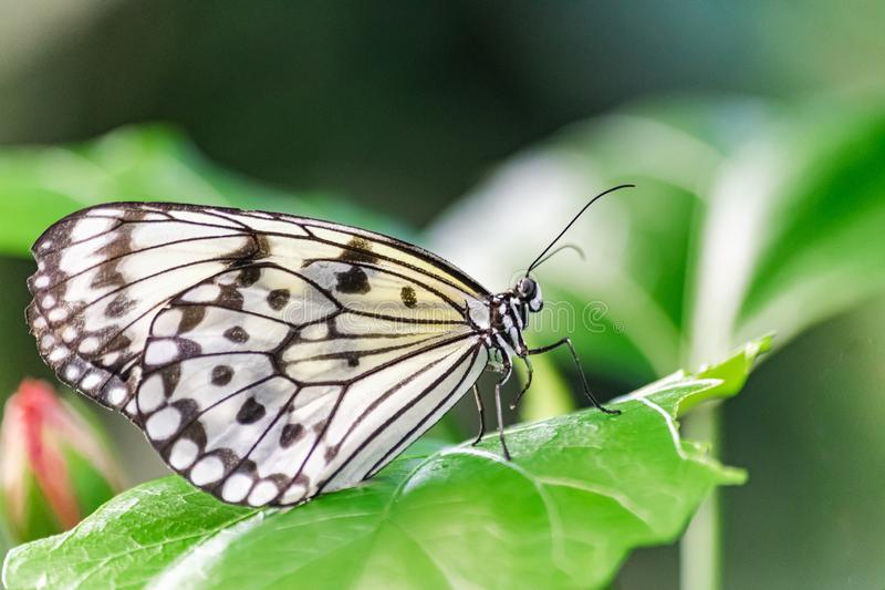 Paper Kite butterfly, Idea leuconoe,. Resting on a green leaf, with green vegetation background stock image