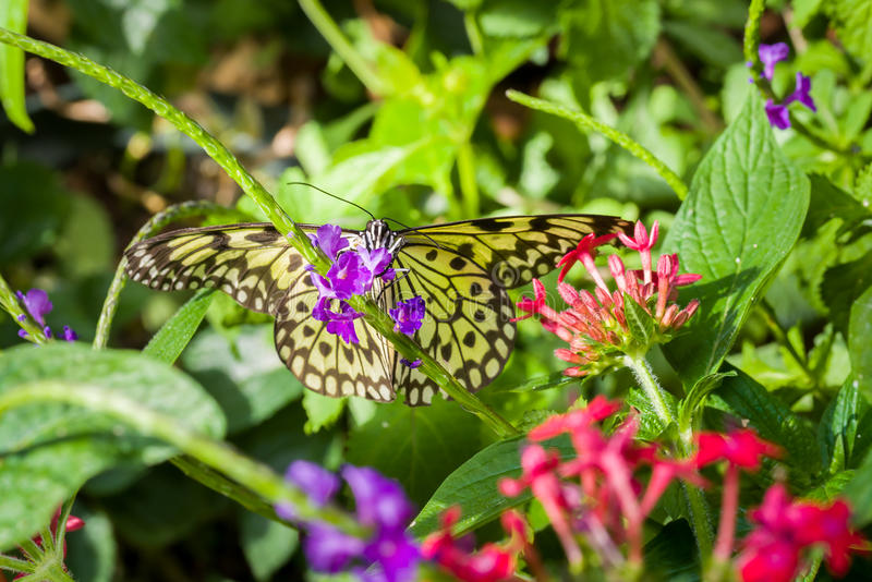 Paper Kite Butterfly. Resting on purple flowers in a formal garden stock images