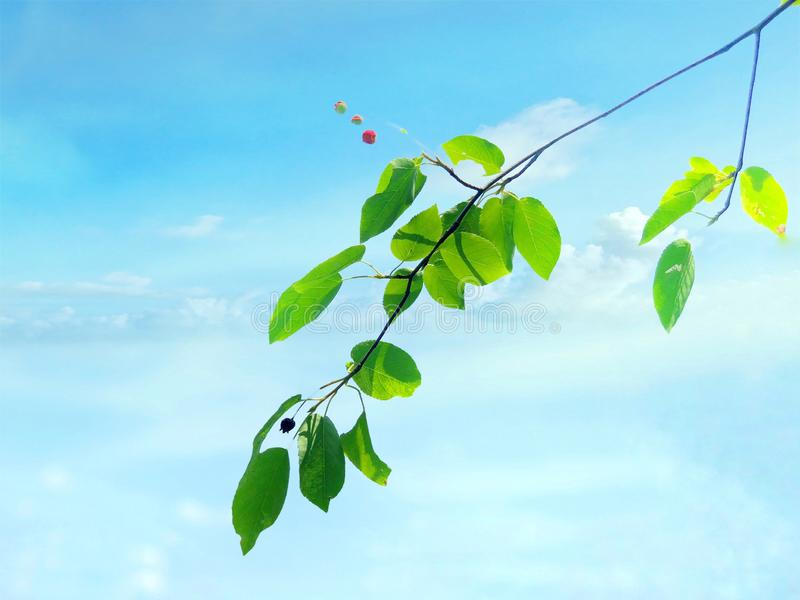 Paper mulberry leaves with blue sky background. Paper mulberry leaves from the Mattatuck Trail with blue sky background at the top of Black Rock in Western stock images