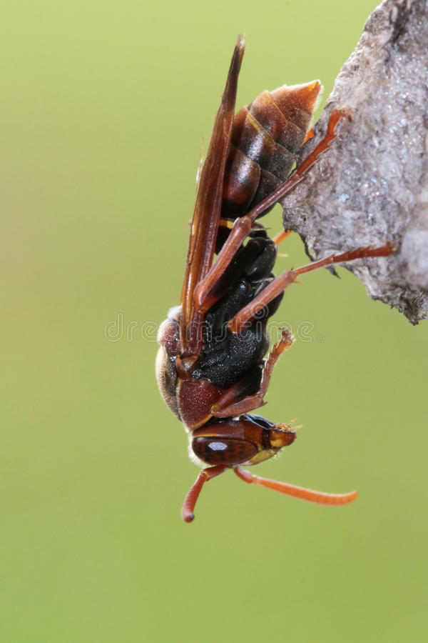 Free Paper Wasp Royalty Free Stock Photography - 24431347