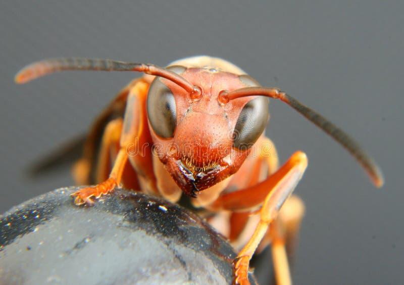 paper wasp arkivfoton