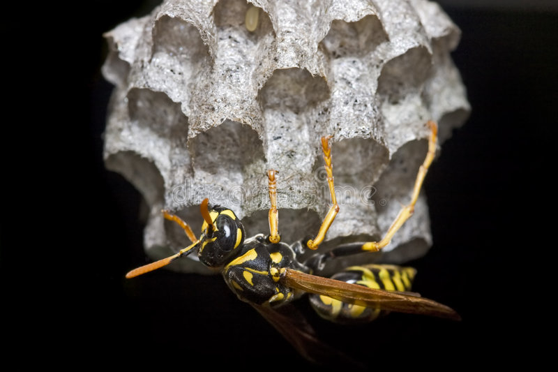 Paper wasp building nest stock photography