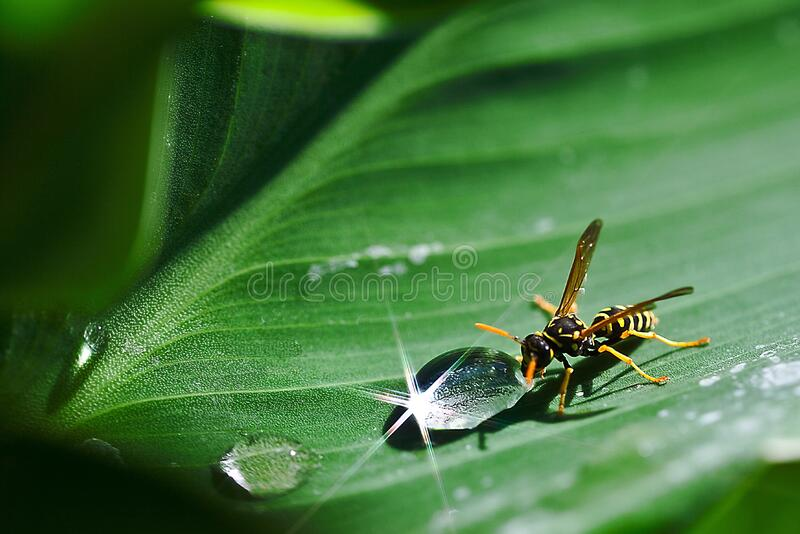 Paper Wasp Beside Dew Drop on Plant Leaf stock photography
