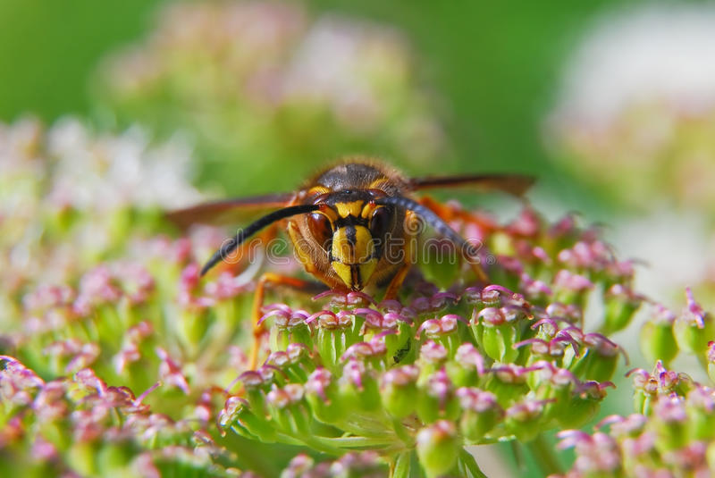 Paper wasp on flowers of Angelica. Paper wasp on flowers (Polistes dominula) of Angelica royalty free stock photos