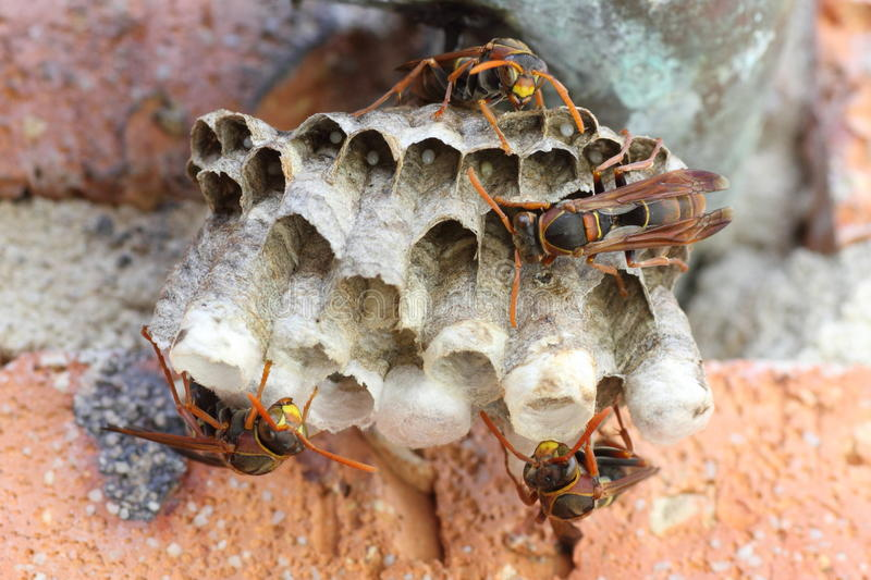 Paper wasps building colony royalty free stock photo
