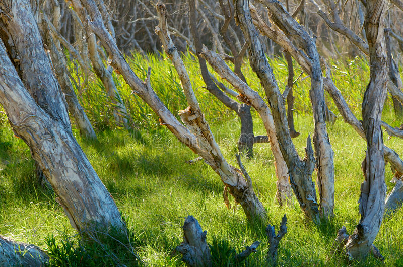 Paperbark Trees stock image