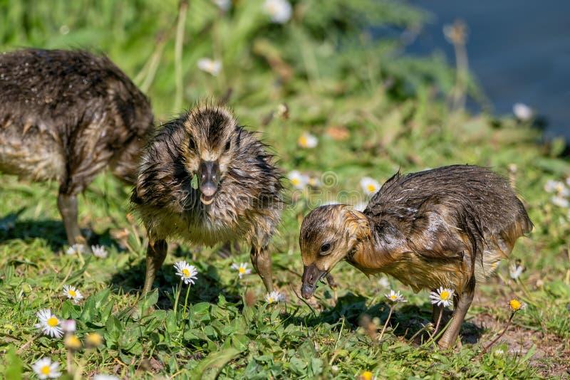 Papere delle oche selvatiche - il anser del Anser che si alimenta vicino alle acque orla fotografie stock