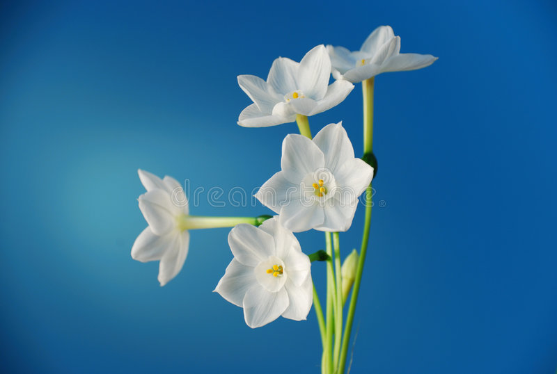 Paperwhite Narcissus royalty free stock photo