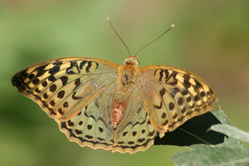 Paphia Λ. Argynnis πεταλούδων. στοκ φωτογραφίες