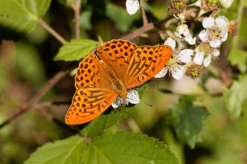 Paphia d'Argynnis de papillon de fritillaire lavé par argent photographie stock