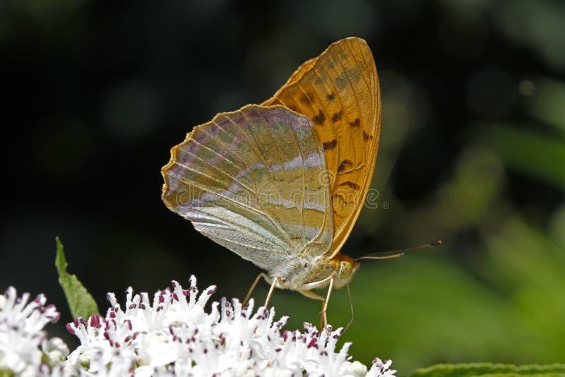 Paphia del Argynnis, fritillary Plata-lavado foto de archivo libre de regalías