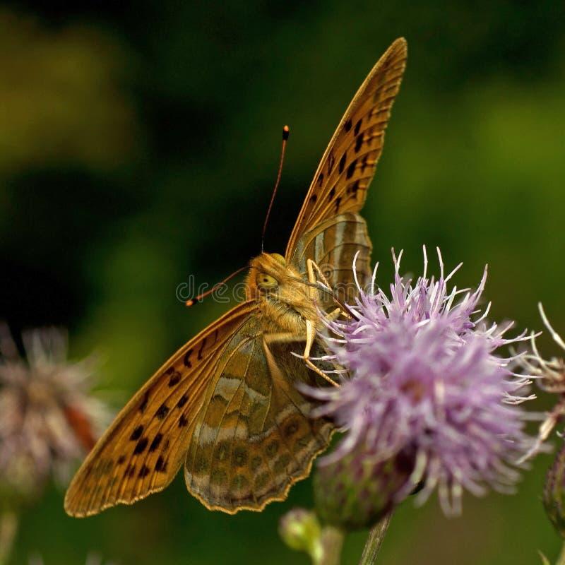 Paphia Plata-lavado mariposa del Argynnis del Fritillary imagen de archivo libre de regalías