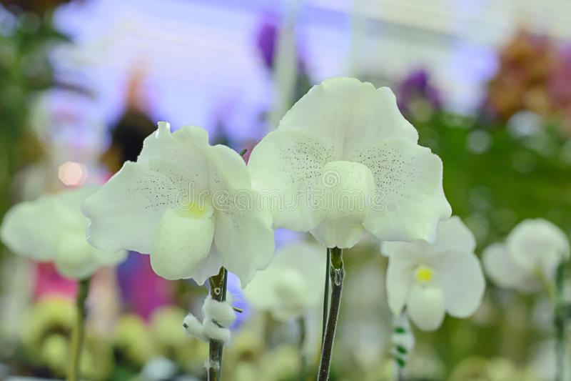 Paphiopedilum. Often called the Venus slipper, is a genus of the Lady slipper orchid subfamily Cypripedioideae of the flowering plant family Orchidaceae stock images