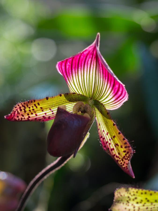 Paphiopedilum orchidea fotografia stock