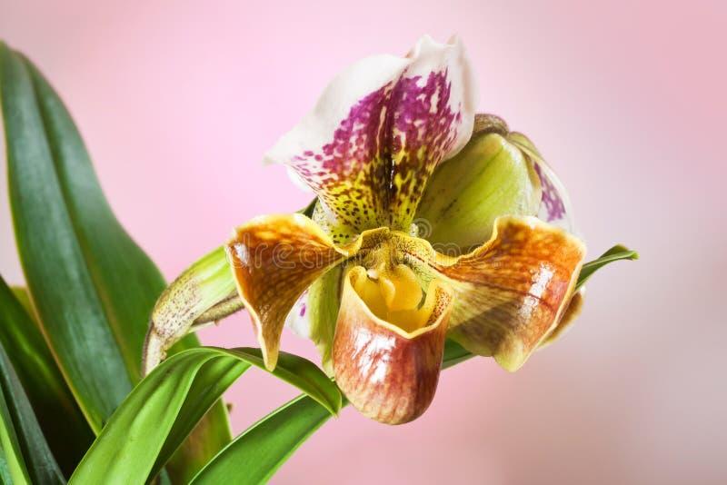 Paphiopedilum sp orchidea, amerykański hybryd, piękni duzi kwiaty, zieleń opuszcza na tle, natury zbliżenia makro- fotografia fotografia stock