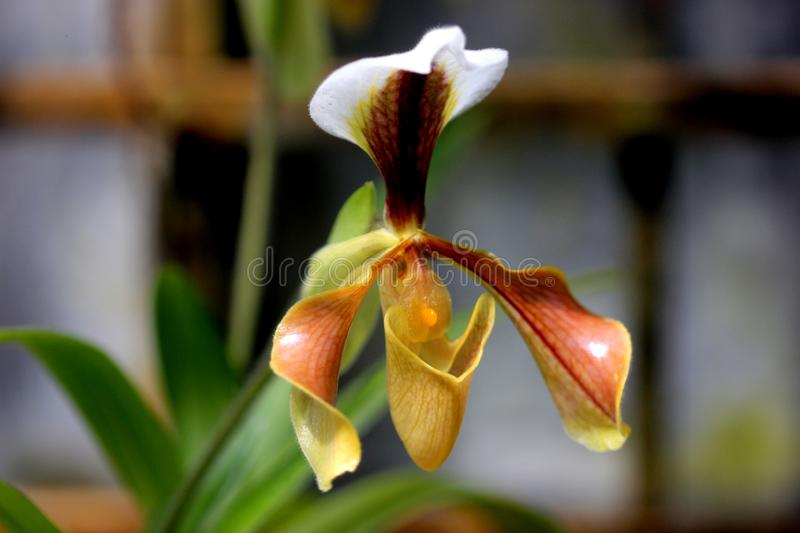 Paphiopedilum villosum, orchid from Northeast India and China. Easy to grow, glossy, bronze flowers with rose tint to petals, lime green handsome dorsal sepal stock image