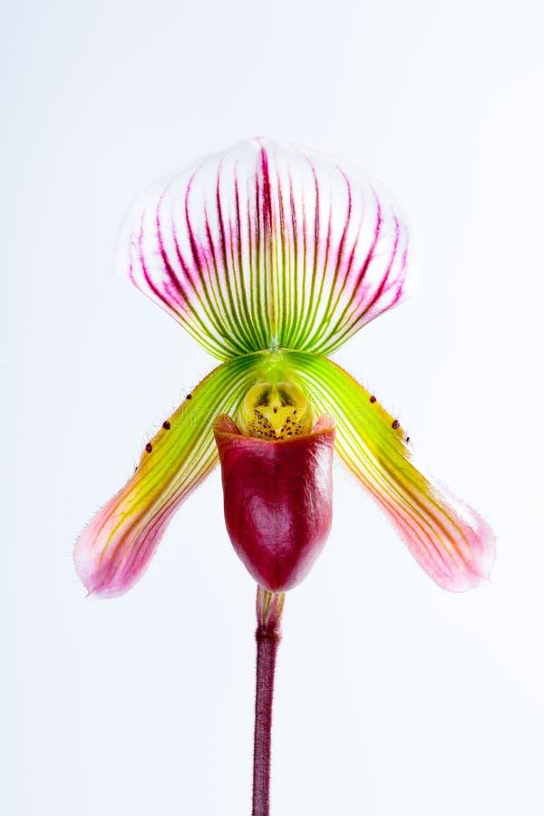 Paphiopedilumcallosum (Rchb f ), royaltyfria bilder