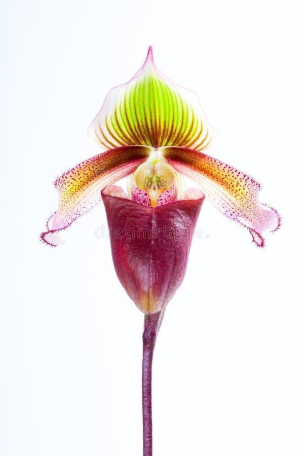 Paphiopedilumsuperbiens (Rchb f ), royaltyfri foto