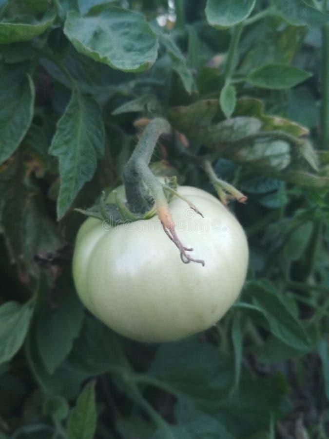 Papier peint cru de nature de tomate photos libres de droits