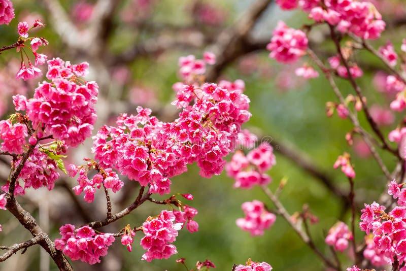 Papier peint de Cherry Blossom et de Sakura image stock