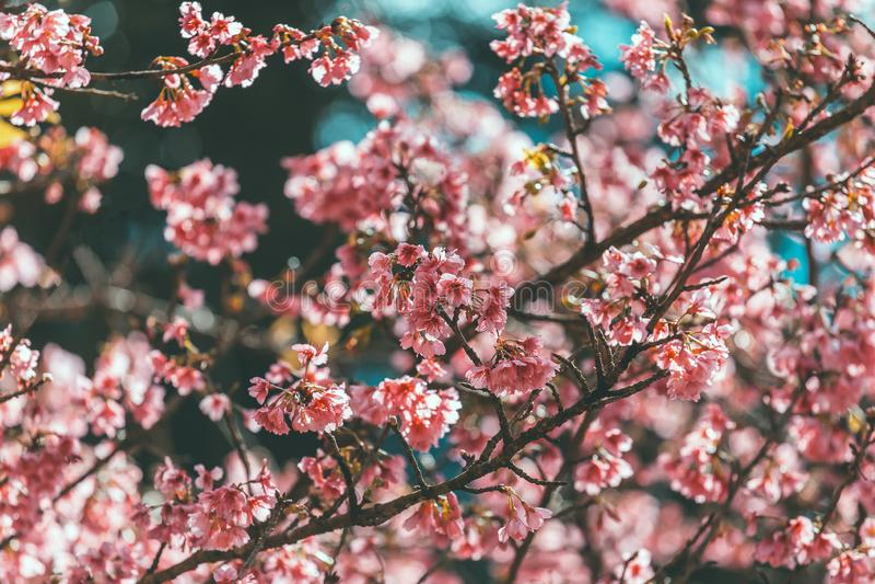 Papier peint de Cherry Blossom et de Sakura photos libres de droits