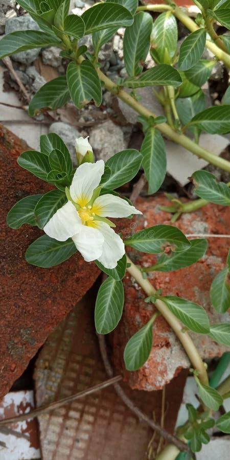 Papier peint de photo de fleur blanche macro pour le téléphone photos stock