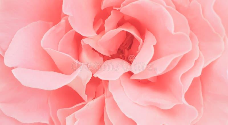 Papier peint rose rose romantique de fond de pétales de pivoine images stock