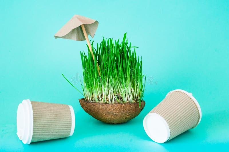 Papierkaffeetassen sind auf dem Tisch und keimten Samen des Hafers oder des grünen Grases in der Kokosnussschüssel auf Türkishint lizenzfreies stockfoto