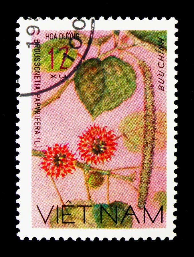 Papierowa morwa, Dzikich kwiatów seria, ci (Broussonetia papvrifera) zdjęcie stock