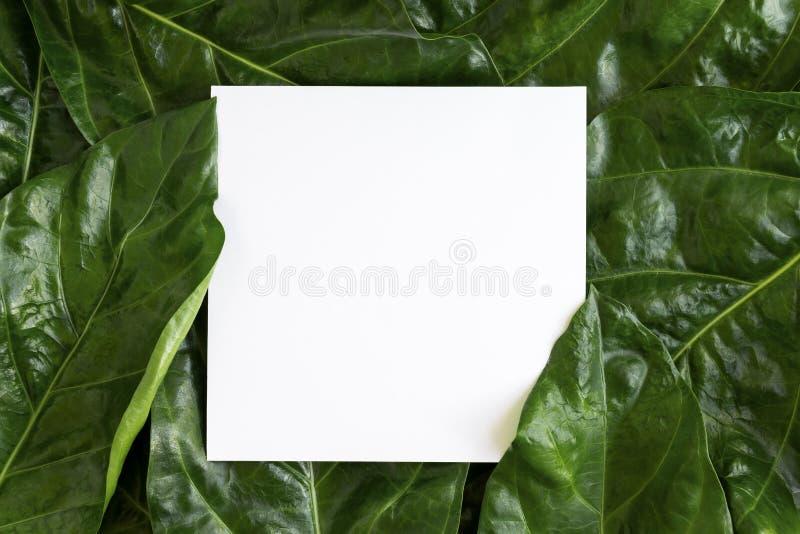 Papierowego mockup bielu karta na Noni opuszcza lub Morinda Citrifolia zdjęcia stock