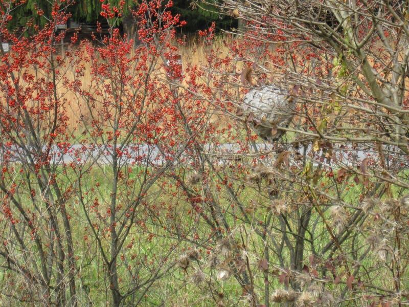 Papierowej osy gniazdeczko wśród krzaków z czerwonymi jagodami zdjęcie stock
