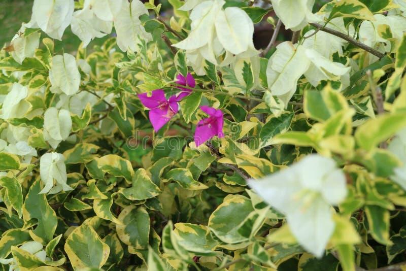 Papierowy kwiat w menchiach i bielu zdjęcie royalty free