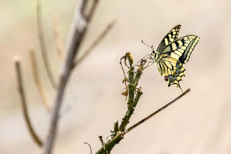 Papilio alexanor butterfly on green branch close-up. With blurred background royalty free stock image