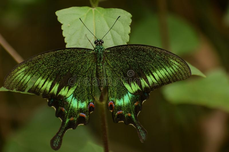 Amazing common peacock papilio bianor  butterfly. royalty free stock images
