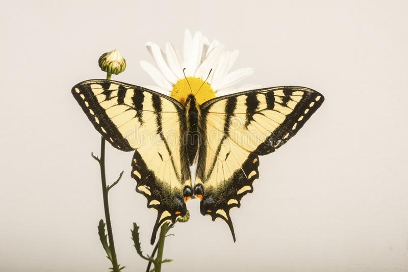 Papilio Butterfly - On Daisy Flower. A north american Swallowtail Butterfly sitting on a Daisy flower, portrayed on a light background stock photography