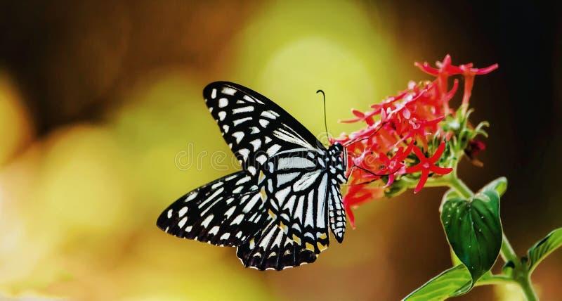 Papilio clytia, den gemensamma faderns royaltyfri bild
