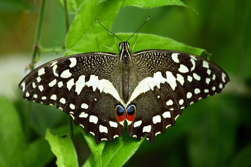 Papilio-demodocus stockfotos