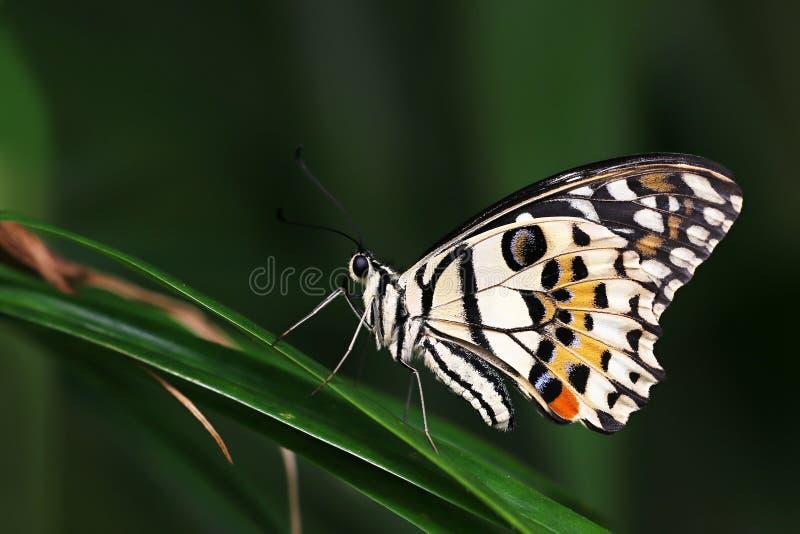 Papilio demoleus royaltyfri fotografi