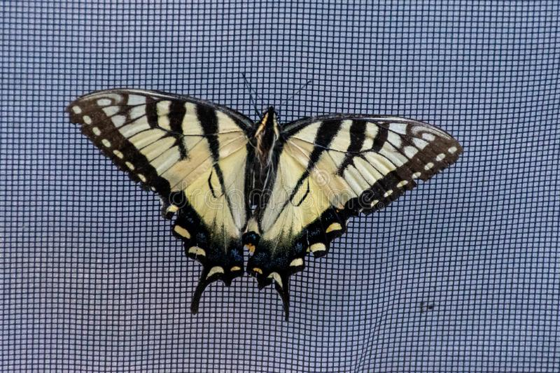 Papilio glaucus, the eastern tiger swallowtail showing off yellow colours in Ontario, Canada stock images