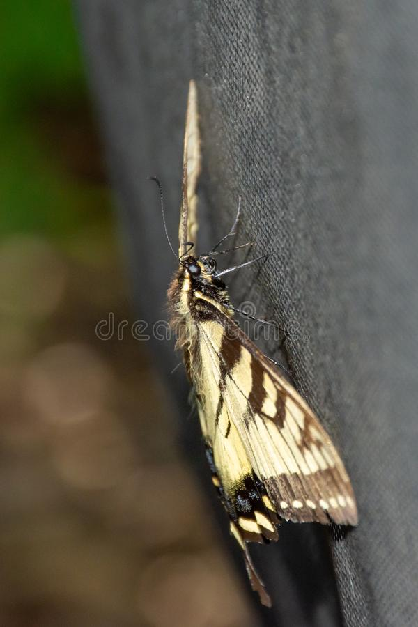 Papilio glaucus, the eastern tiger swallowtail showing off yellow colours in Ontario, Canada. Side profile view stock photography