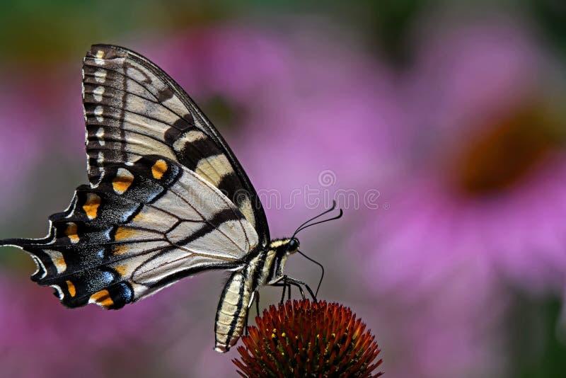 Papilio glaucus lub wschodni tygrysi swallowtail na Echinacea kwiacie obrazy stock