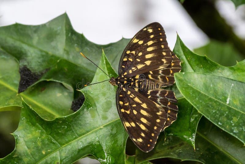 Papilio lormierifj?ril, central kejsare Swallowtail p? ett blad arkivbild