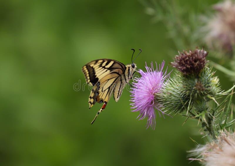 Papilio machaon, ο Παλαιός Κόσμος swallowtail στοκ φωτογραφίες
