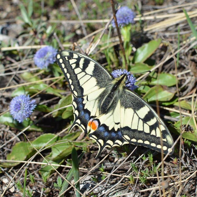 Papilio machaon蝴蝶 免版税库存图片